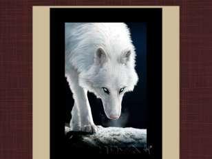 Canis lupus albus :d