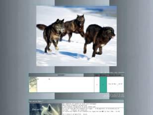Meute de loups, alpha ...