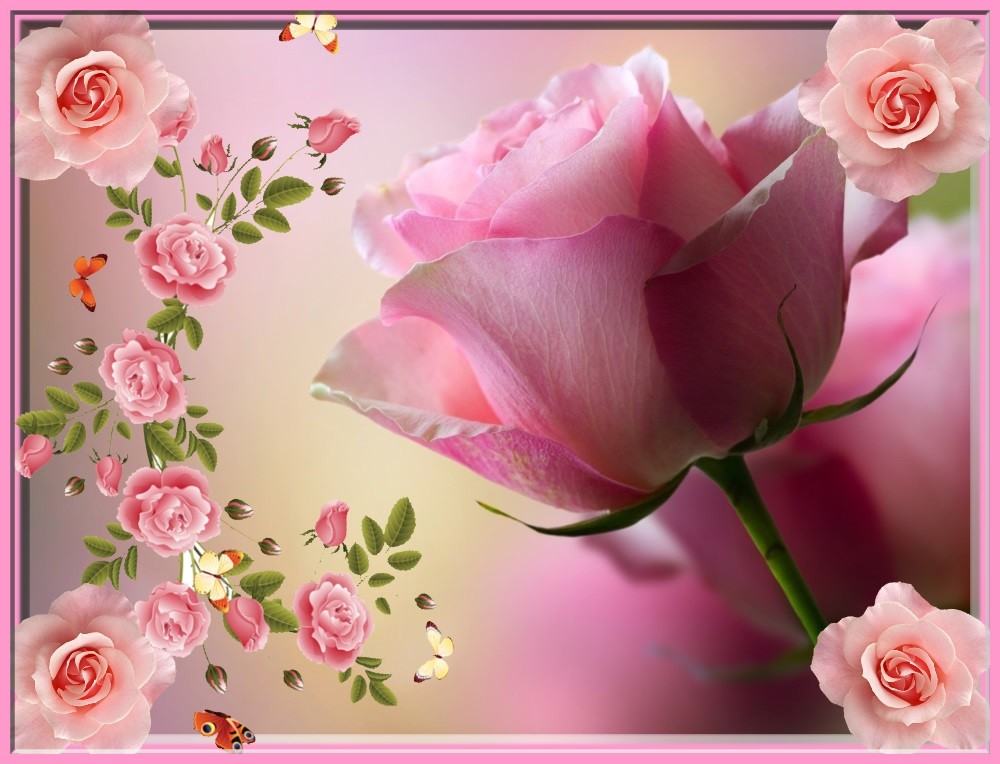 Rose Merveille